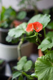 Red geranium flower. Red geranium flower ower the green plants background stock image