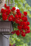 Red Geranium Flower pot on a gate Royalty Free Stock Photo