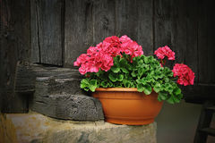 Red geranium flower, potted plant on rural black wooden background Royalty Free Stock Photos