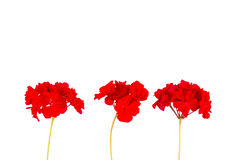 Red geranium flower. Three red geranium flower on stems and white background stock photography