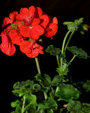 Red Geranium. A red geranium flower with water droplets on it with a black background royalty free stock photos