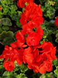 Red geranium flower. With water drops royalty free stock image