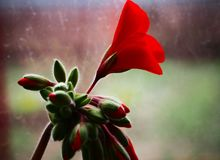 Red geranium flower, which only blossoms stock photo