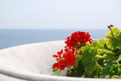 Red geranium in a flowerpot against the sea. The background sea.Red geranium in a flowerpot.Summer Sunny day Stock Photography