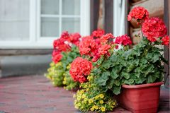 Red geranium at flowerpot. As decoration of house Stock Photography