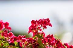 Red Geranium Flowers against Sunlight Royalty Free Stock Photos