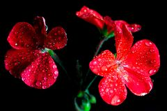 Red geranium flowers on black background stock images
