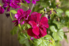 Red geranium flowers in bloom. Stock Photography
