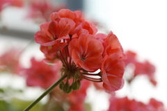 Red geranium flowers in bloom on a white background Stock Images