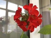 Red geranium flowers. Geranium blooming season royalty free stock photos