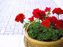Red geranium flowers royalty free stock image