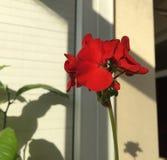 Red geranium flowers. Geranium blooming season royalty free stock image