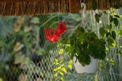 Red geranium flowers in pot. Hang on roof royalty free stock photo