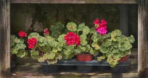 Red geranium flowers in pots. In a row on rustic wood shelf royalty free stock photos