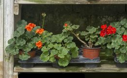 Red geranium flowers in pots. In a row on rustic wood shelf stock photography