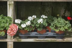 Red geranium flowers in pots. In a row on rustic wood shelf stock images