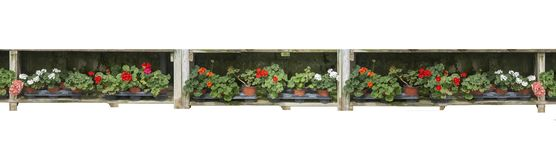 Red geranium flowers in pots. In a row on rustic wood shelf stock photo
