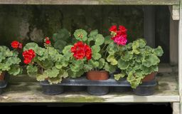 Red geranium flowers in pots stock photos