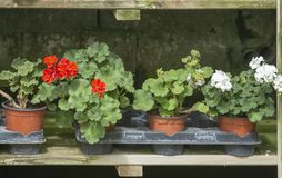 Red geranium flowers in pots. In a row on rustic wood shelf royalty free stock photo