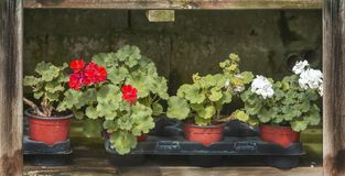 Red geranium flowers in pots stock photo