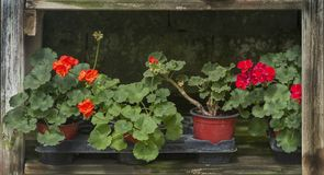 Red geranium flowers in pots royalty free stock photography