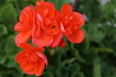 Red geranium flowers in summer garden. Close up stock image