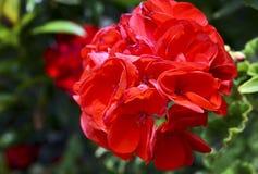 Red geranium flowers in summer garden close up.Ivy-leaf pelargonium flowers.Geranium Peltatum. stock photography