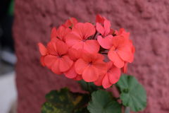 Red Geranium. In front of red textured wall Stock Image