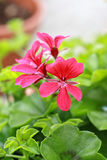 Red geranium in the garden. Close up Royalty Free Stock Photos
