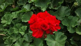 Red Geranium Royalty Free Stock Photography