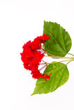 Red geranium and green leaves Royalty Free Stock Photos