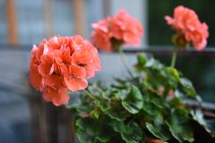Red geranium growing in tbe pot stock photography