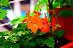 Red geranium. Kırmızı sadunya garden royalty free stock image