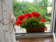 Geranium in the open window. Red Geranium in the open window. Bright colors of summer royalty free stock image