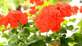 Red Geranium stock footage
