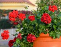Red geranium. Red geranium ( pelargonium) flowers in a flowerpot Royalty Free Stock Images