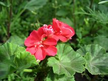 Red geranium (Pelargonium zonale) Royalty Free Stock Images