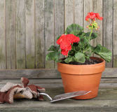 Red Geranium in a Pot. With gardening gloves and trowel against a weathered fence royalty free stock image