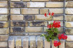Red geranium in a pot. On brick wall royalty free stock images
