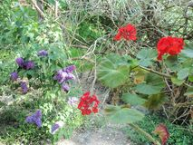 Lilac and geranium flowers. Red geranium and purple lilac flowers in the green of leaves, with trumpet vine bush twigs in the background stock images