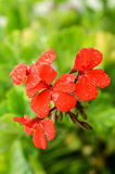 Red geranium in the rain Royalty Free Stock Photos