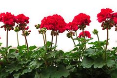 Red geranium. On white background stock images