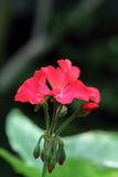 Red Geranium Royalty Free Stock Images