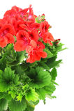Red Geranium on white background Stock Photos