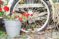 Red geranium in zinc bucket with white bike. Red geranium in zinc vintage bucket with wheel of bike,  in garden royalty free stock image