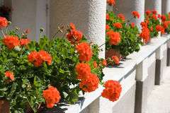 Red geraniums Stock Photography
