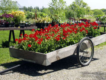 Red geraniums in a cart. Red geraniums ini a cart at a plant sale stock photography