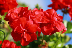 Red Geraniums flowers. Geraniums are among the favorite garden and balcony plants Royalty Free Stock Images