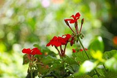 Red geraniums flowers Stock Images