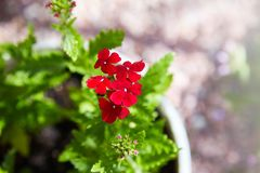 Red Geraniums Flowers, Pelargonium peltatum royalty free stock image